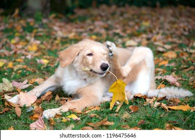 puppy hovawart breed nine weeks autumn crown of leaves sunny wea