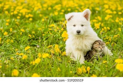 Puppy hugging a tabby kitten on a field of dandelions. Focus on cat