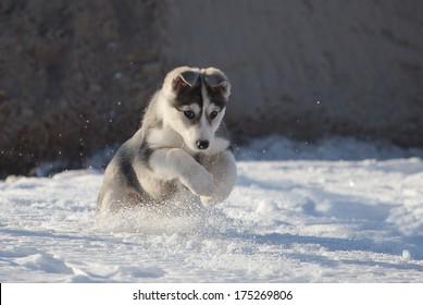 Puppy of husky game in the snow