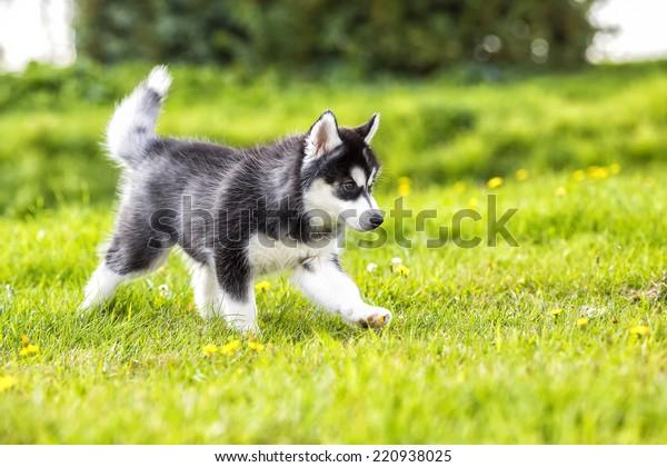 Puppy husky runs across the grass