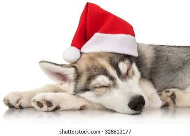Puppy husky with santa hat