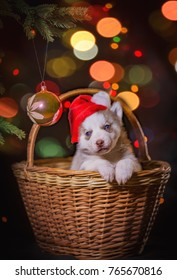 Puppy husky sitting under the tree in the basket
