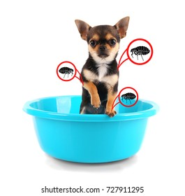 Puppy infested with fleas in basin on white background