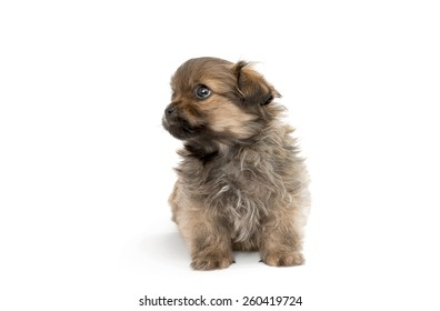 puppy isolated on white background