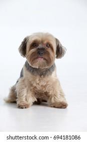 Puppy isolated. Purebred dog. Studio shot. Vertical format. White background.