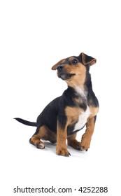puppy jack russel sitting down