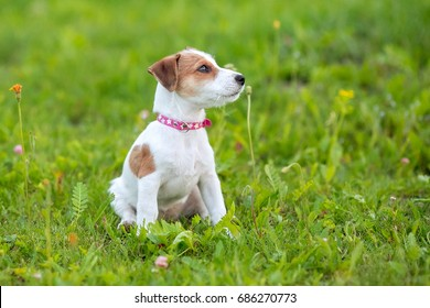 Puppy Jack Russel Terrier in the grass
