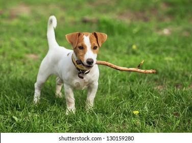 the puppy of a jack russell bears a stick.