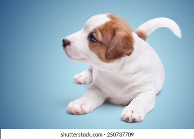the puppy Jack Russell lies on blue background