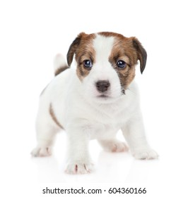 Puppy Jack russell looking at camera.  isolated on white background
