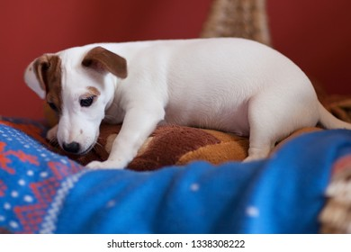 Puppy Jack Russell Terrier with a spot on the face on a red background
