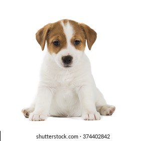 puppy Jack Russell toy