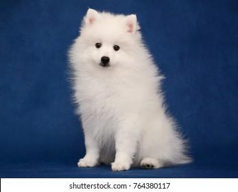 Puppy of Japanese white spitz sitting on blue background