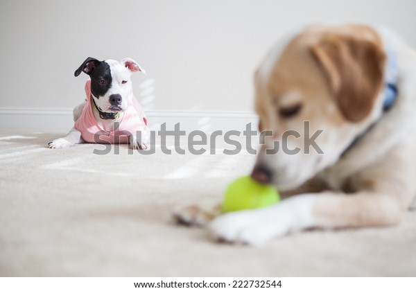 Puppy jealous of dog playing with tennis ball