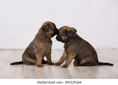 A puppy kisses another puppy