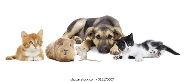 Puppy and kitten and guinea pig and rat