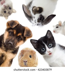 Puppy and kitten and guinea pig, set of pets