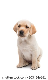 puppy labrador isolated on white background