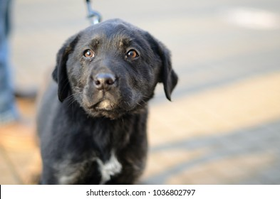 Puppy Labrador Retriever Dog