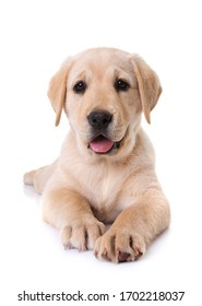 puppy labrador retriever in front of white background