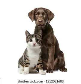 Puppy Labrador Retriever sitting, kitten domestic cat sitting, in front of white background