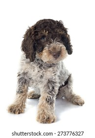 puppy lagotto romagnolo in front of white background
