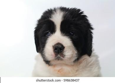 puppy Landsser