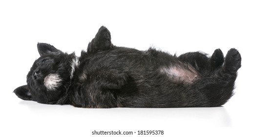 puppy laying upside down on back - scottish terrier 4 weeks old