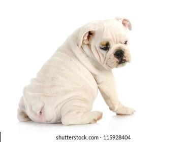 puppy looking over shoulder - english bulldog puppy looking over shoulder - 11 weeks old