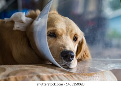 "Puppy looking sad while wearing a ""cone of shame"" to prevent licking after surgery. Spay and neuter. Young Golden Retriever dog."