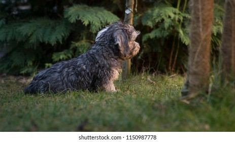 Puppy is looking at the unknown big world. Breed  Dandie dinmont terrier