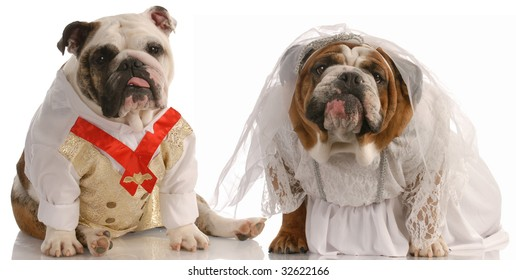 puppy love - english bulldog dressed up as a bride and groom
