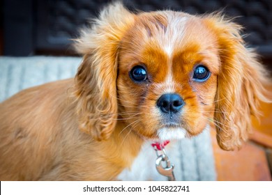Puppy Love.  This is a loving King Charles Cavalier puppy who's always ready to play.