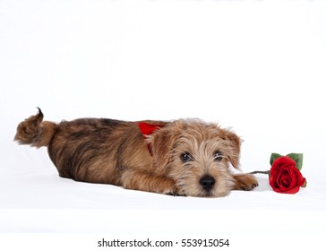 Puppy lying beside a red rose