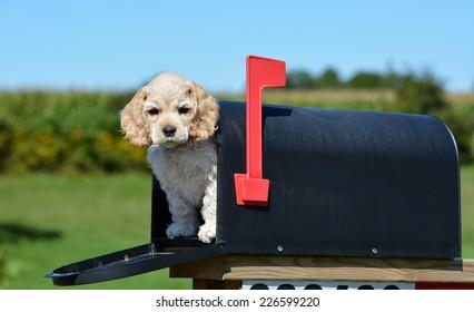 puppy-mailbox-american-cocker-spaniel-26