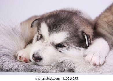 Puppy Malamute