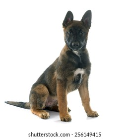 puppy malinois in front of white background
