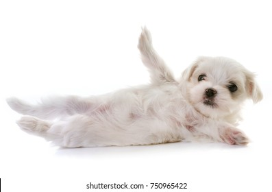 puppy maltese dog in front of white background