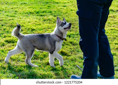 Puppy miniature husky. Dogs play with each other, merry fuss, harmonious relations, correction of behavior and aggressiveness. Obedient pet performs the commands of its owner. Deliverance from barking
