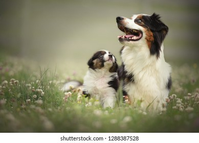 Puppy with mom. Proud australian shepherd puppy.