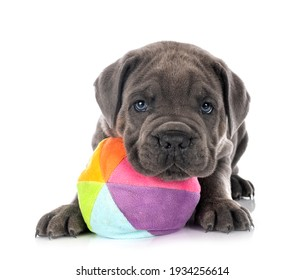 puppy Neapolitan Mastiff in front of white background
