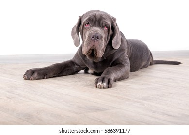 Puppy Neapolitana mastino, sitting on the floor in the studio. Dog handlers training dogs since childhood.