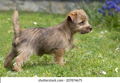 Puppy Norfolk Terrier