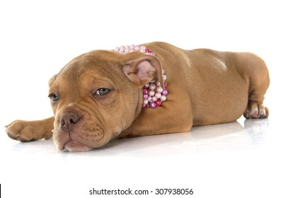 puppy old english bulldog in front of white background