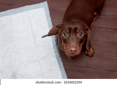 Puppy on absorbent litter. Accustom the dog to the toilet. Training pets