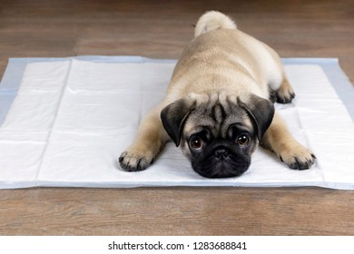 Puppy on absorbent litter,   accustom the dog to the toilet