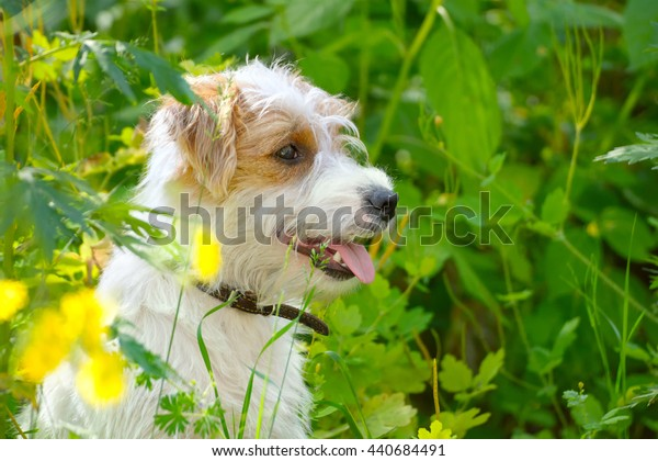 Puppy on a summer meadow. Small dog in nature. Cute pet sitting in a green grass and yellow flowers.