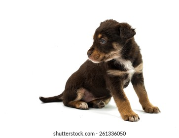 puppy on a white background