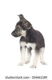 puppy on a white background isolated
