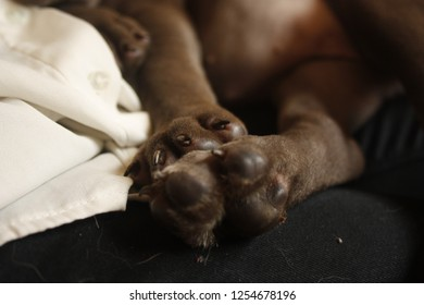 Puppy American Stanford Images Stock Photos Vectors Shutterstock